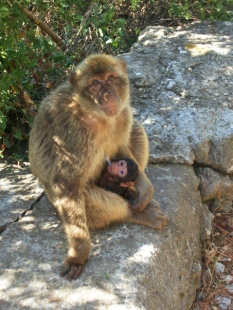 female_macaque_with_young_suckling